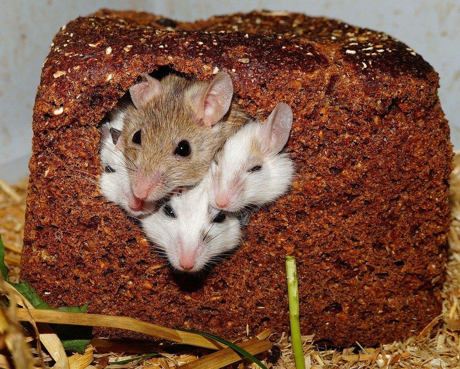 myši v chlebu
